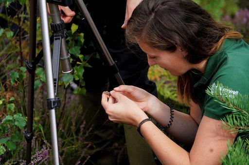 Sand lizards released by Marwell Zoo on Eelmoor Marsh Site