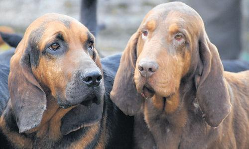 Bloodhounds meet for charity fundraiser for Naomi House