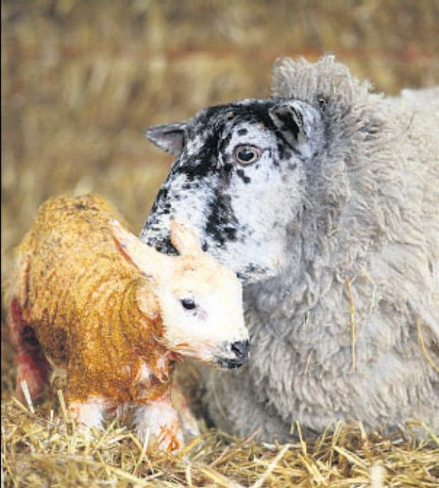 Hampshire Chronicle: Sparsholt College opens doors for lambing weekend