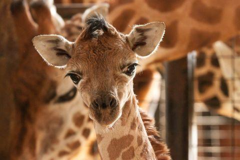 The rare Rothschild giraffe needs a name