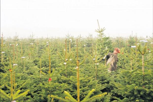 Christmas tree sale for local charities in Alresford