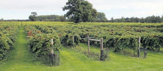 Vineyard saved from closure after being bought