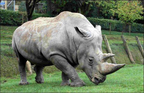 White rhino Hannu was euthanised at Marwell Wildlife aged 29 after a battle with severe arthritis