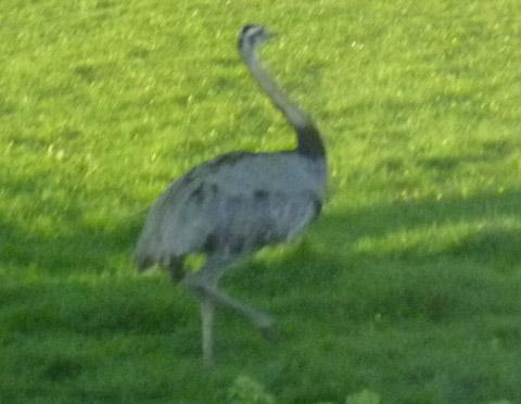 Rhea flightless bird, similar to this one, spotted by Hampshire roadside