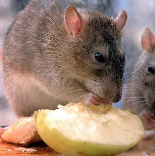Rats could grow to be bigger than sheep as they evolve to fill vacant ecological niches, a ge