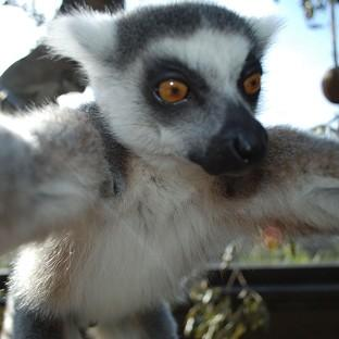 Bekily, a 12-year-old male lemur living at London Zoo, grabs the camera from a keeper during feeding time (PA/London Zoo)