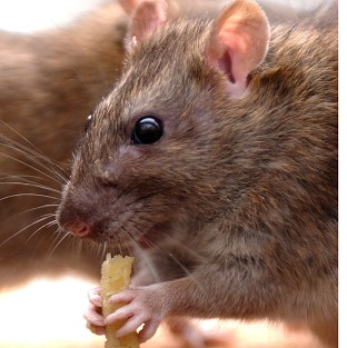 Vermin is one reason that residents complain to councils, research shows