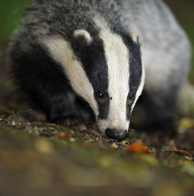 Hampshire Chronicle: Pilot badger culls will continue this year as part of efforts to tackle tuberculosis (TB) in cattle