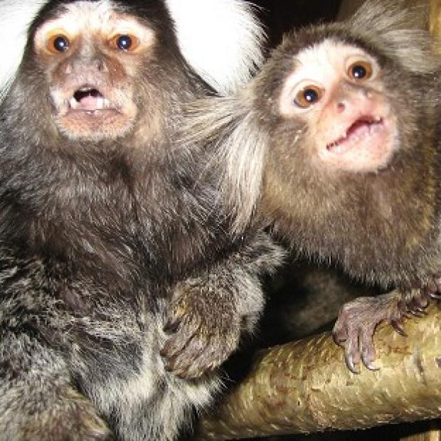 Hampshire Chronicle: Marmosets have been used to test ways to reduce the side effects of drug treatment for Parkinson's