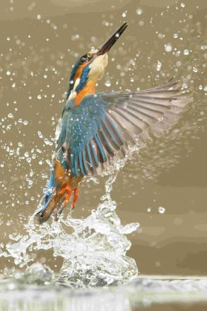 Last year's winning photograph: Kingfisher Diving by Tom Way