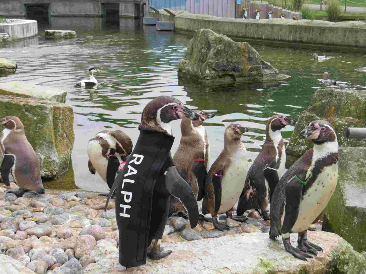 Ralph in his custom-made wetsuit at Marwell Zoo.