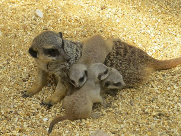 Marwell Zoo celebrates arrival of three meerkat babies