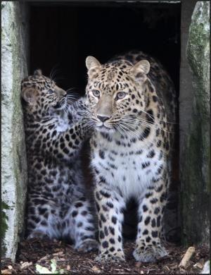 Marwell's Amur leopard emerges for the first time