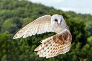 Barn Owl Turning by Steve Lobley.