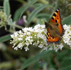 A Large Tortoiseshell prospects for nectar on the flowerhead of white Buddleia