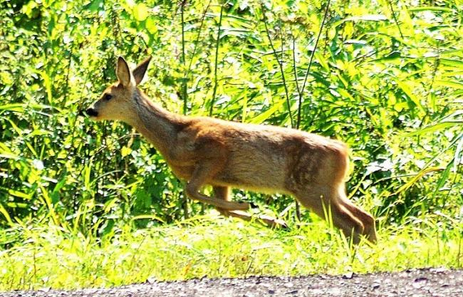 A plague of deer increasing problem on the roads