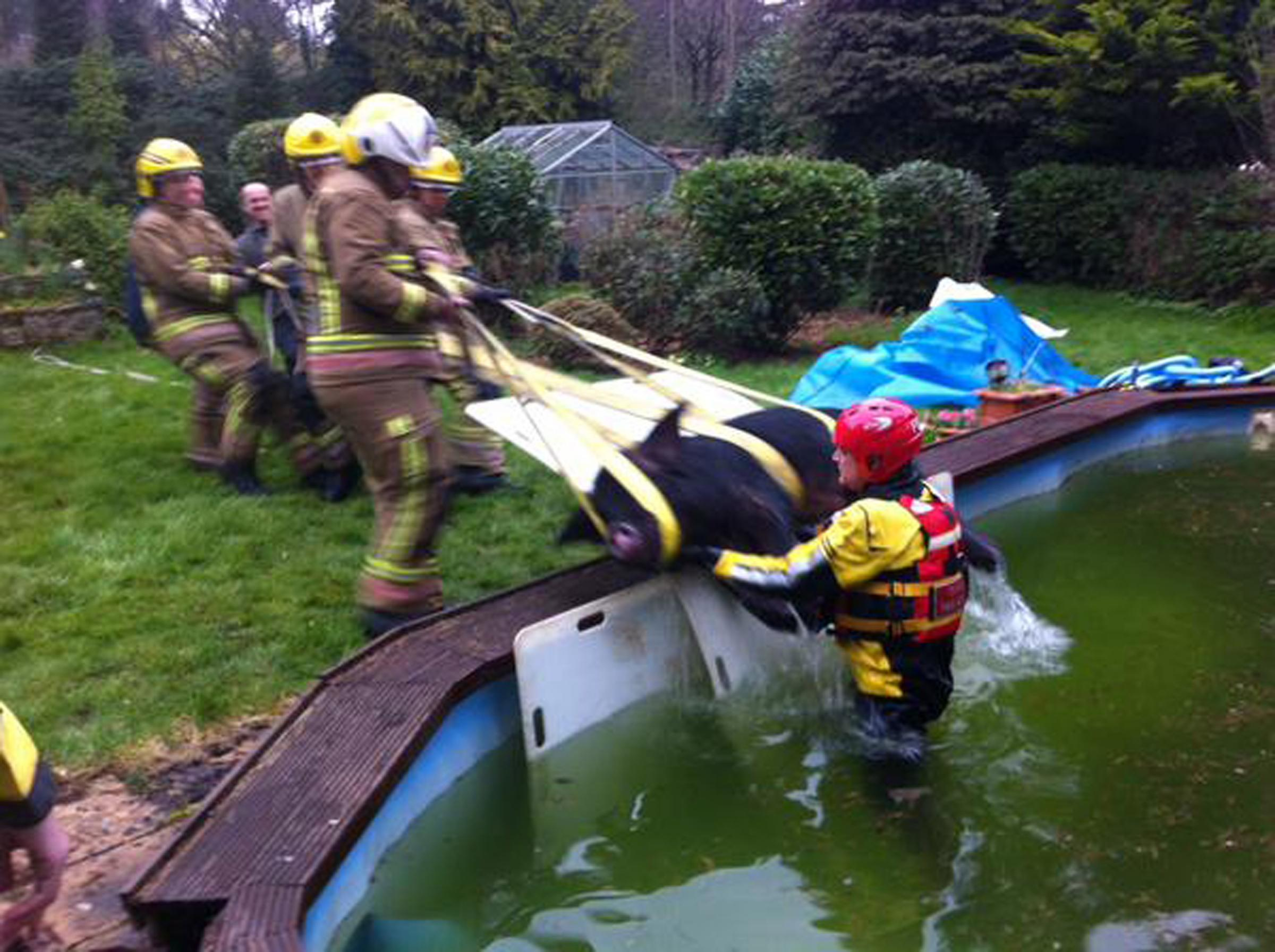 Undated handout photo taken from the Twitter feed of @andyjamescole DC East Dorset FRS of firefighters rescuing a pig from a swimming pool at a house in Hampshire. PRESS ASSOCIATION Photo. Issue date: Friday April 3, 2015. Dorset Fire and Rescue Service w