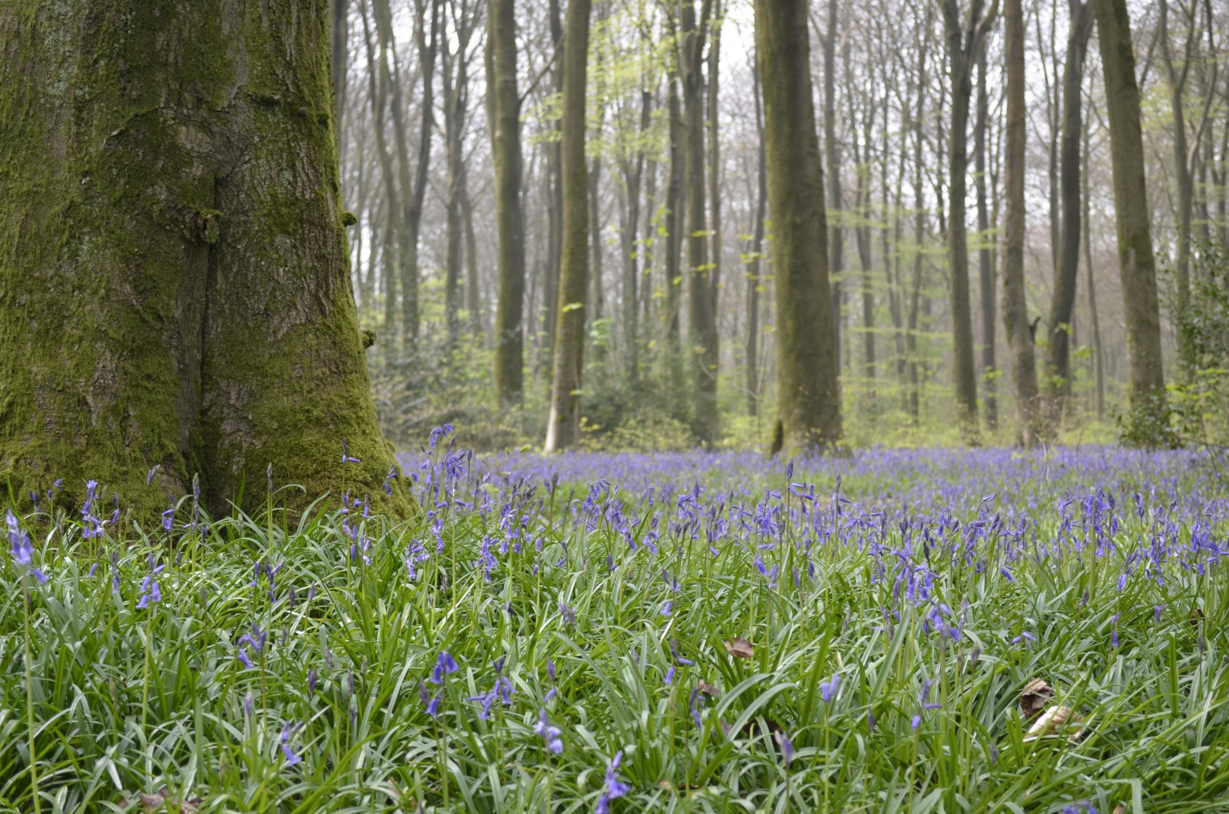 Bluebells in Micheldever Wood